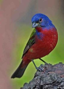 Painted Bunting by Judge Rock CC-crop