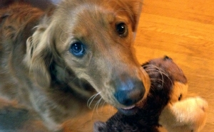 Close-up of dog with a toy monkey in its mouth